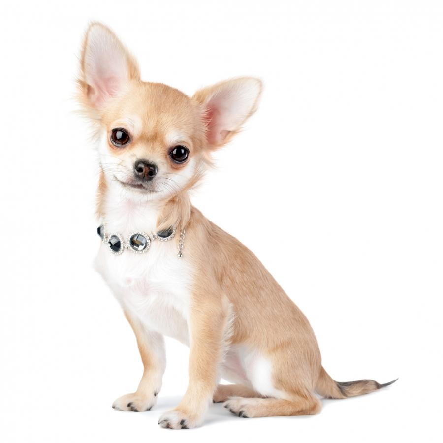 Chihuahua Eleveur De Chiens Houssin Kuurne Chiots A Vendre Plus De 20 Races